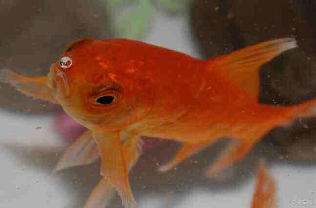 金鱼为什么会把吃下去的东西吐出来